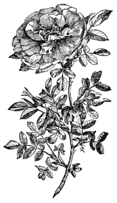 roses011 (403x700, 151Kb)