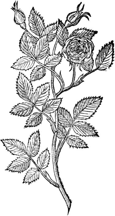 roses065 (375x700, 129Kb)