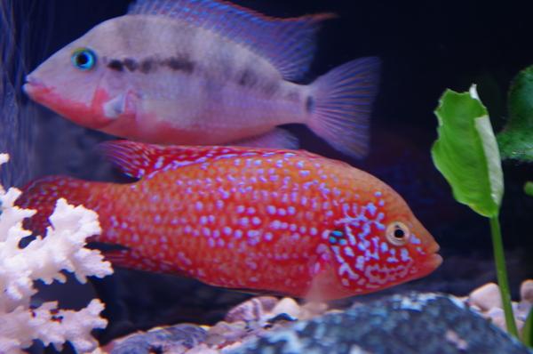 рыбки - хромис и меека 1 (600x398, 218Kb)
