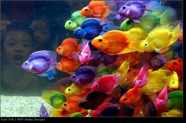 рыбки - попугаи (600x396, 71Kb)