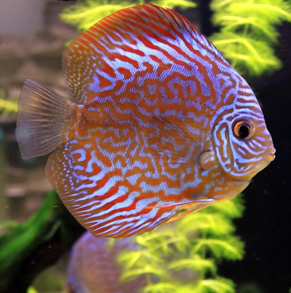 рыбки фото дискус 1 (596x600, 110Kb)