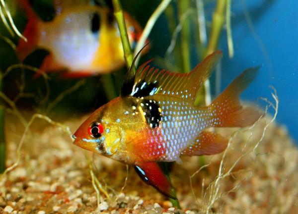 рыбки фото карликовые цихлиды Шульги1 (600x432, 65Kb)