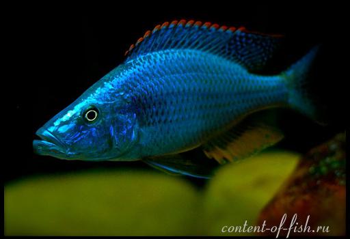 рыбы Dimidiochromis-compressiceps5941 (512x350, 114Kb)