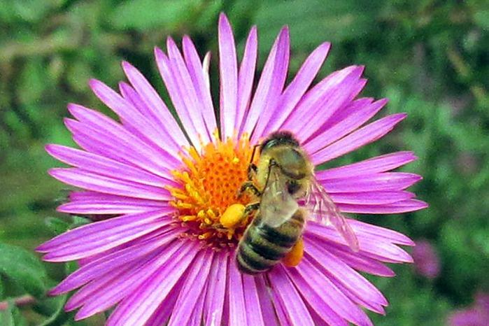 фото пчелы с пыльцой