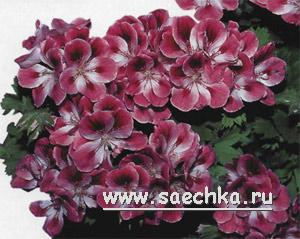 passiflora (300x239, 33Kb)