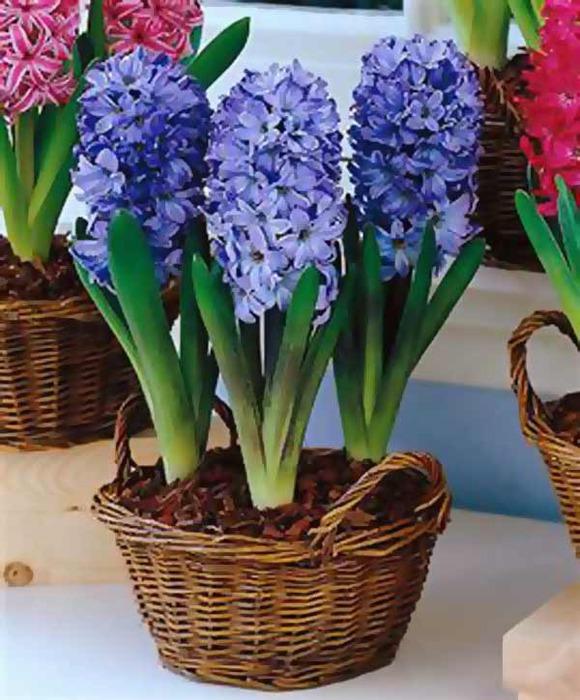 4061723_hyacinthus8 (580x700, 118Kb)
