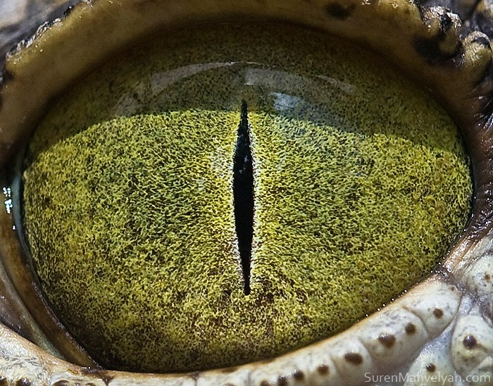 Nylus_crocodile_eye_2 (700x548, 181Kb)
