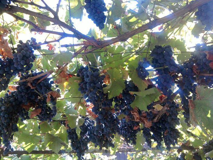 виноград (700x525, 92Kb)