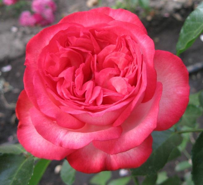роза малиновая (658x600, 102Kb)
