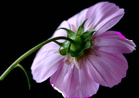 3949503_fleur_40 (572x405, 264Kb)