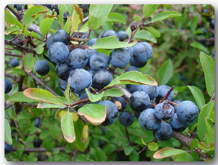 blackthorn-sloes (441x333, 74Kb)
