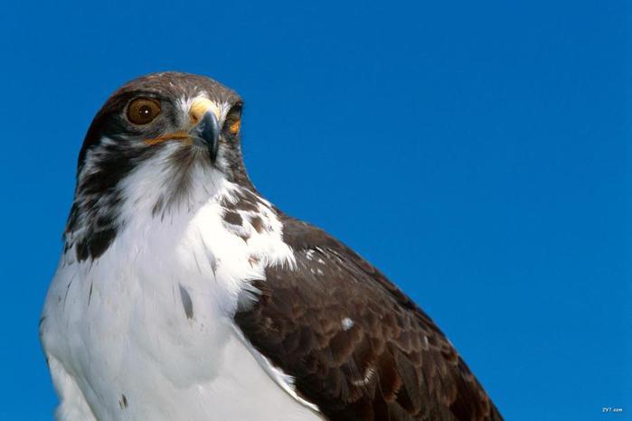 Хищная птица, животные, лучшее, птицы, синее 1600х1200