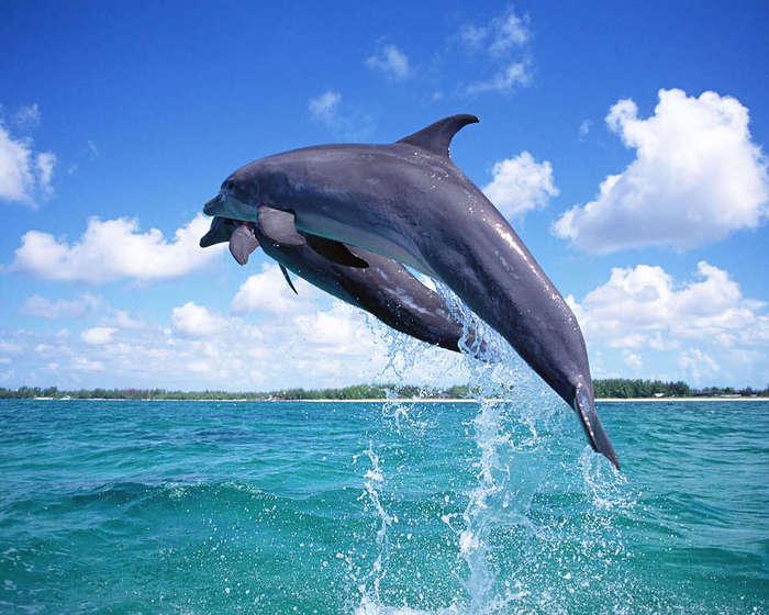 4278666_Dolphin__1_ (700x560, 61Kb)