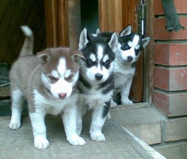 Фотографии хаски сибирский щенки.