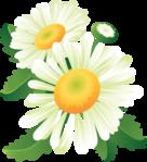 Полевые и декоративные ромашки, рисованные композиции - клипарт на белом и прозрачном фоне 146 JPG + PNG 807x1282...