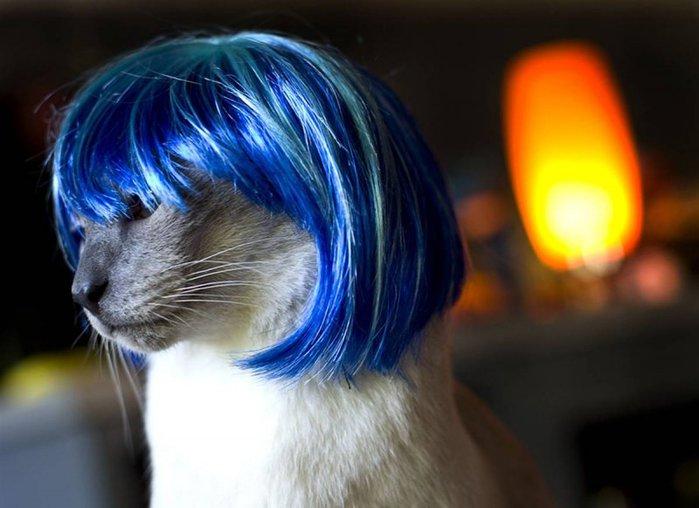 коты в парике (699x508, 55Kb)