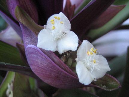цветок рео фото: