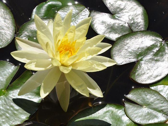 Есть в графском парке тихий пруд..... Там лилии цветут . .Ботанический сад Latour - Marliac. 80867
