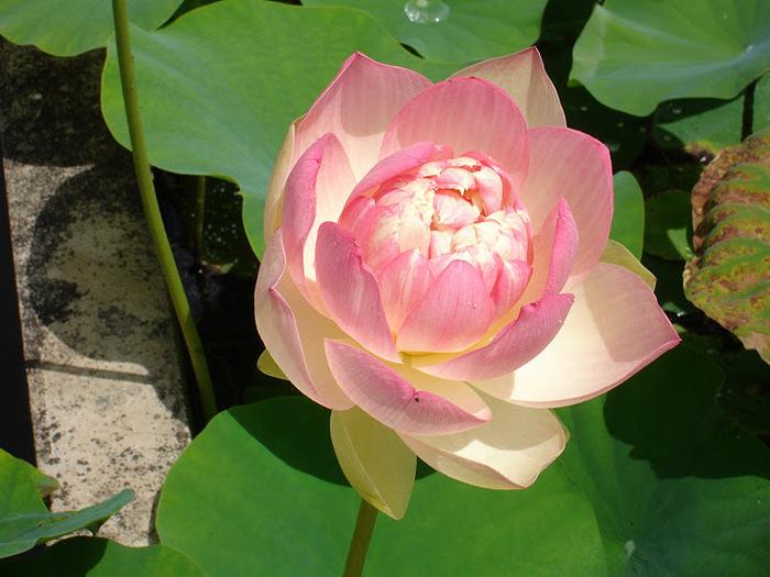 Есть в графском парке тихий пруд..... Там лилии цветут . .Ботанический сад Latour - Marliac. 42610