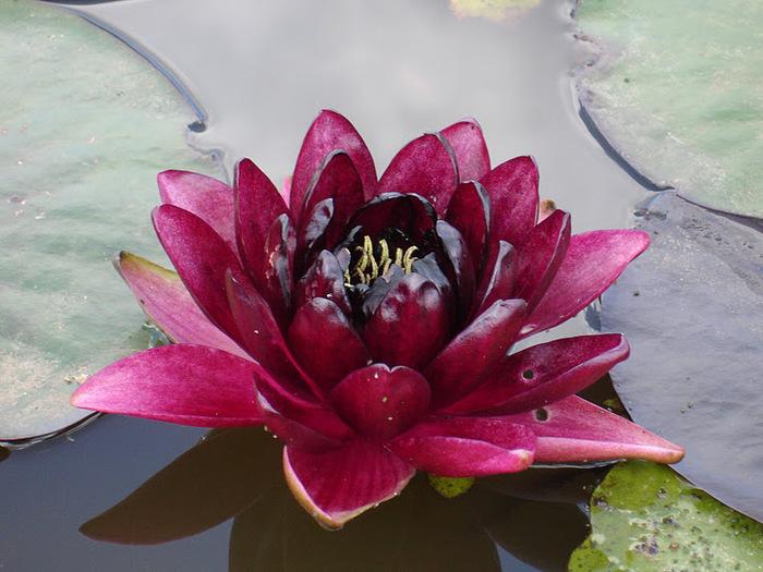 Есть в графском парке тихий пруд..... Там лилии цветут . .Ботанический сад Latour - Marliac. 23532