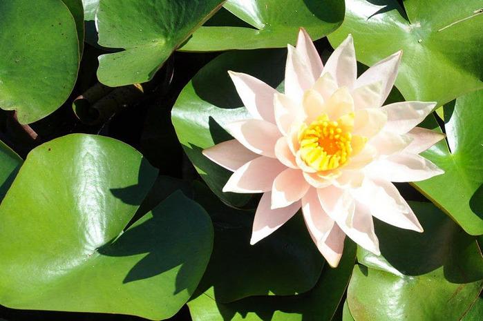 Есть в графском парке тихий пруд..... Там лилии цветут . .Ботанический сад Latour - Marliac. 23986