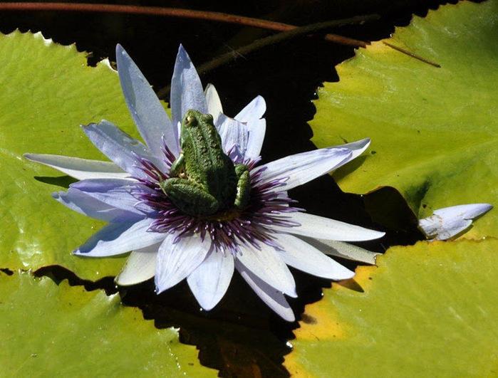 Есть в графском парке тихий пруд..... Там лилии цветут . .Ботанический сад Latour - Marliac. 56774