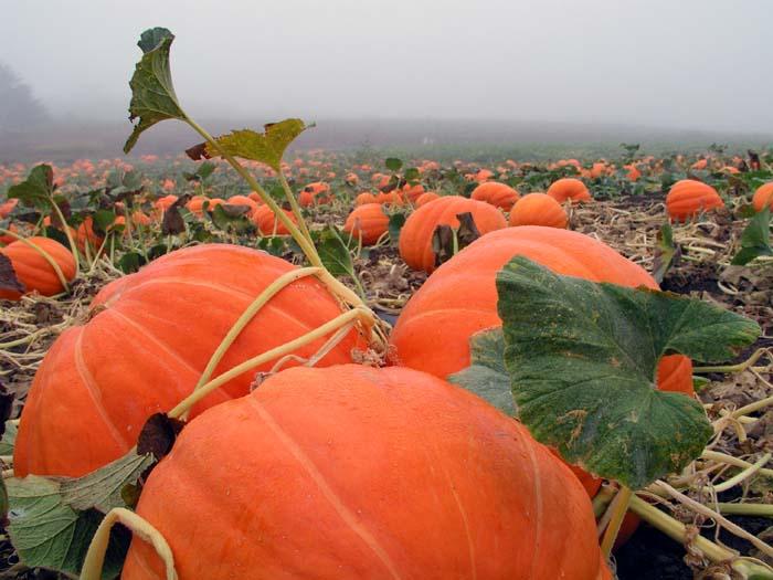 pumpkin_165 (700x525, 76Kb)