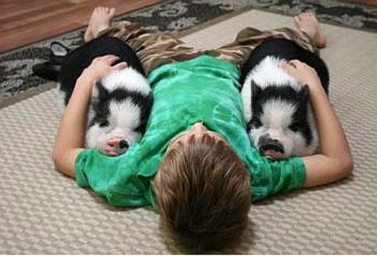 Декоративные свинки мини-пиги