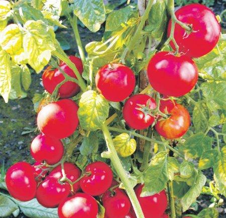 pomidorchiki (450x433, 59Kb)
