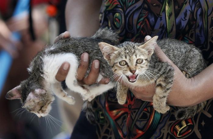 Таиланд Наводнение спасение котят (700x457, 237Kb)
