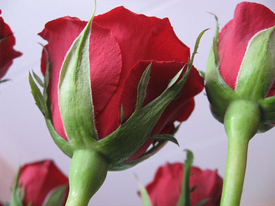 kak-vyrastit-rozu-iz-cherenka (400x300, 52Kb)