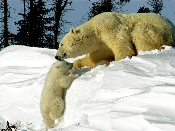 polar-bears_242_600x450 (600x450, 51Kb)