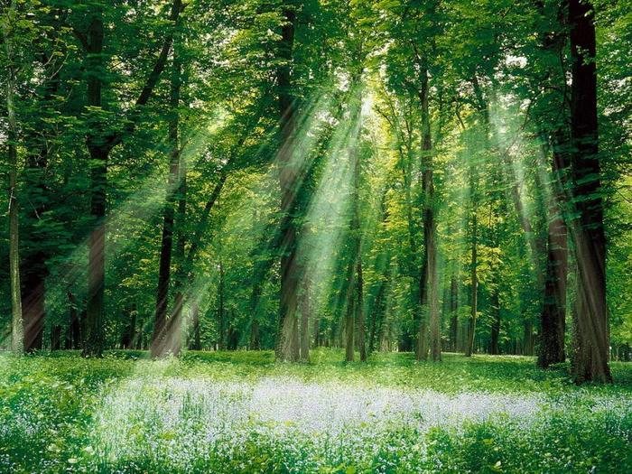 Лес в солнечных лучах (700x525, 118Kb)
