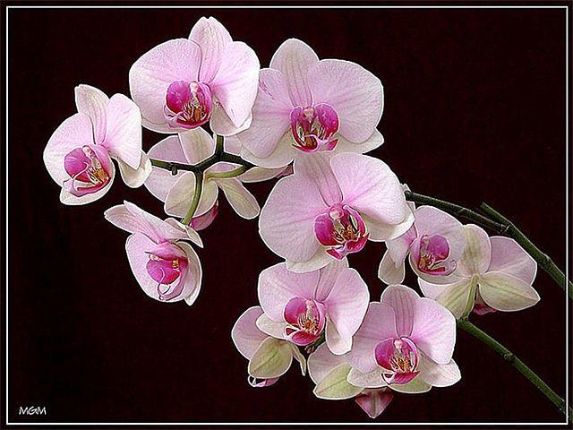 МК-орхидея из ткани