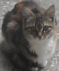кошка-трехцветка (244x293, 120Kb)