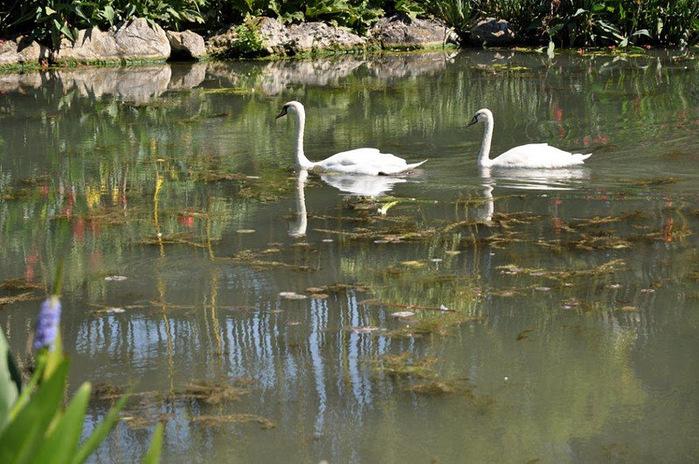Есть в графском парке тихий пруд..... Там лилии цветут . .Ботанический сад Latour - Marliac. 74601