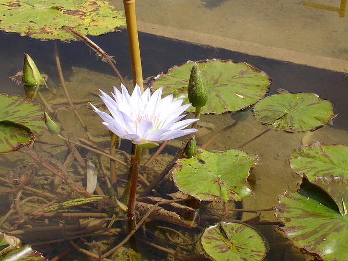 Есть в графском парке тихий пруд..... Там лилии цветут . .Ботанический сад Latour - Marliac. 32128