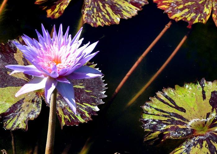 Есть в графском парке тихий пруд..... Там лилии цветут . .Ботанический сад Latour - Marliac. 18959