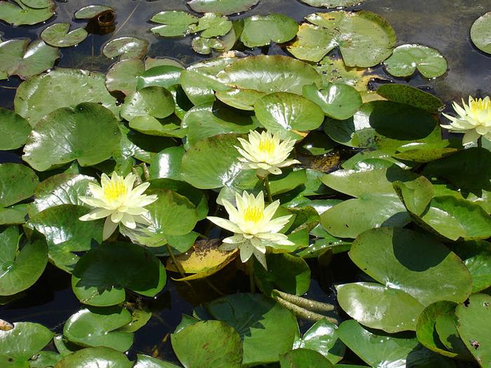Есть в графском парке тихий пруд..... Там лилии цветут . .Ботанический сад Latour - Marliac. 11415