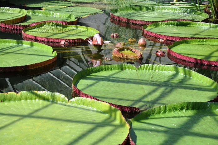 Есть в графском парке тихий пруд..... Там лилии цветут . .Ботанический сад Latour - Marliac. 95818