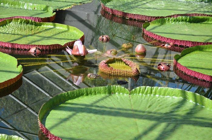 Есть в графском парке тихий пруд..... Там лилии цветут . .Ботанический сад Latour - Marliac. 28863