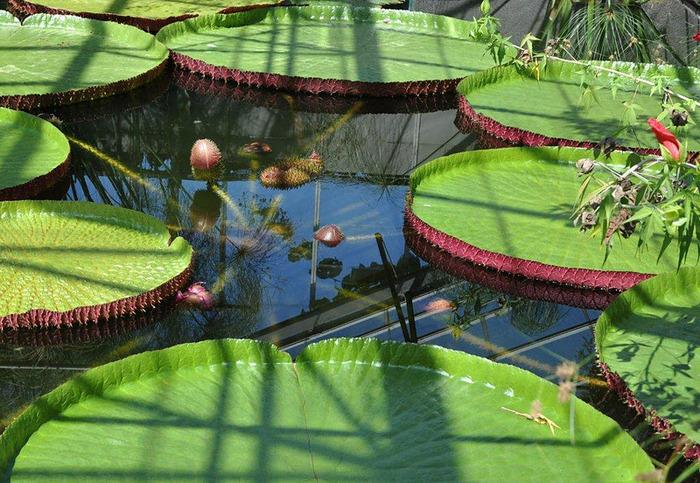 Есть в графском парке тихий пруд..... Там лилии цветут . .Ботанический сад Latour - Marliac. 77357