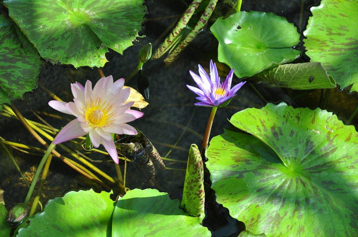 Есть в графском парке тихий пруд..... Там лилии цветут . .Ботанический сад Latour - Marliac. 34780