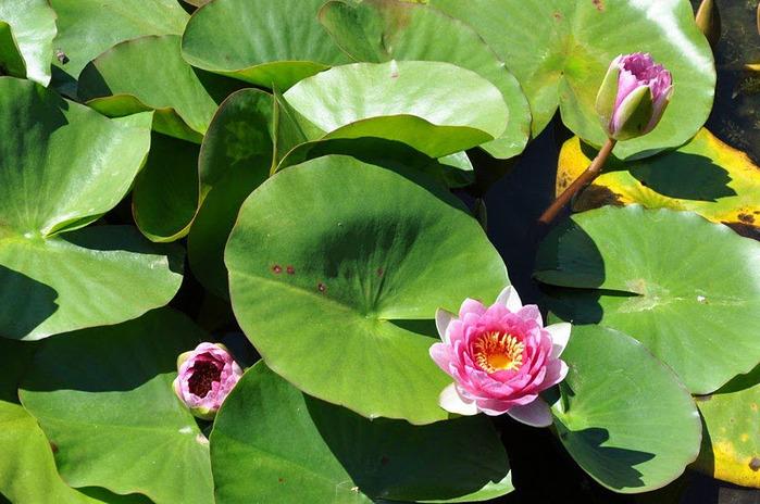 Есть в графском парке тихий пруд..... Там лилии цветут . .Ботанический сад Latour - Marliac. 56819