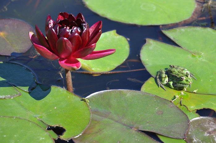 Есть в графском парке тихий пруд..... Там лилии цветут . .Ботанический сад Latour - Marliac. 44158