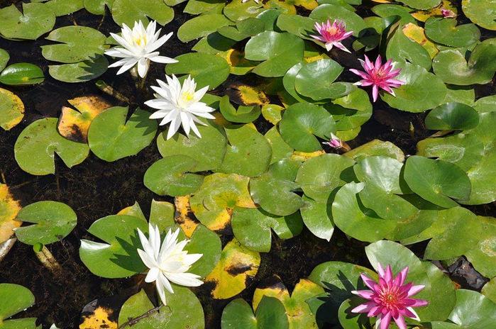 Есть в графском парке тихий пруд..... Там лилии цветут . .Ботанический сад Latour - Marliac. 96924