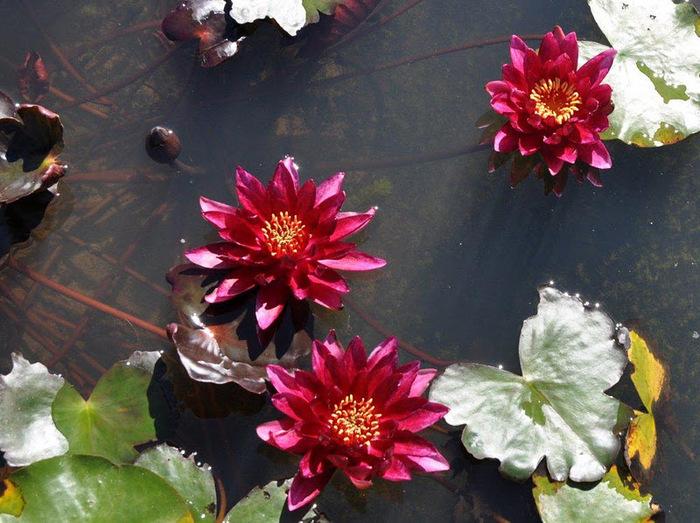 Есть в графском парке тихий пруд..... Там лилии цветут . .Ботанический сад Latour - Marliac. 38970
