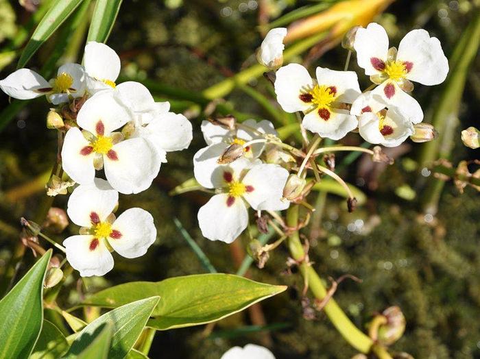 Есть в графском парке тихий пруд..... Там лилии цветут . .Ботанический сад Latour - Marliac. 94601