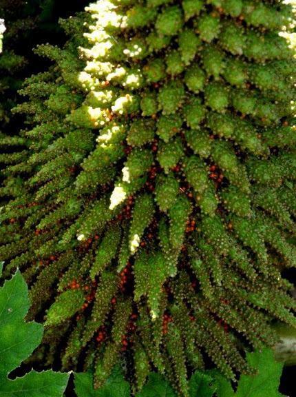 Есть в графском парке тихий пруд..... Там лилии цветут . .Ботанический сад Latour - Marliac. 95768