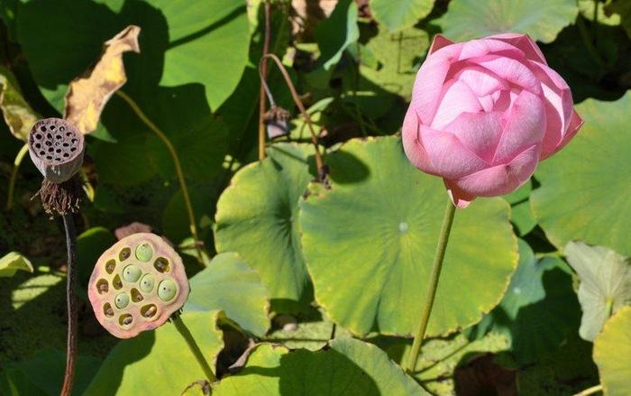 Есть в графском парке тихий пруд..... Там лилии цветут . .Ботанический сад Latour - Marliac. 69040